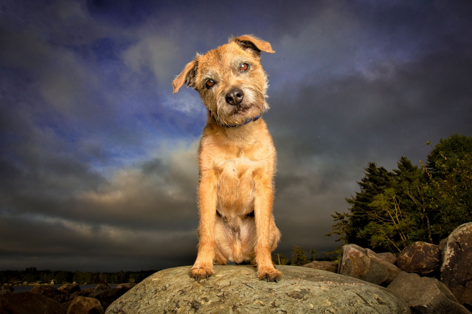 border terrier on a rock looking curious