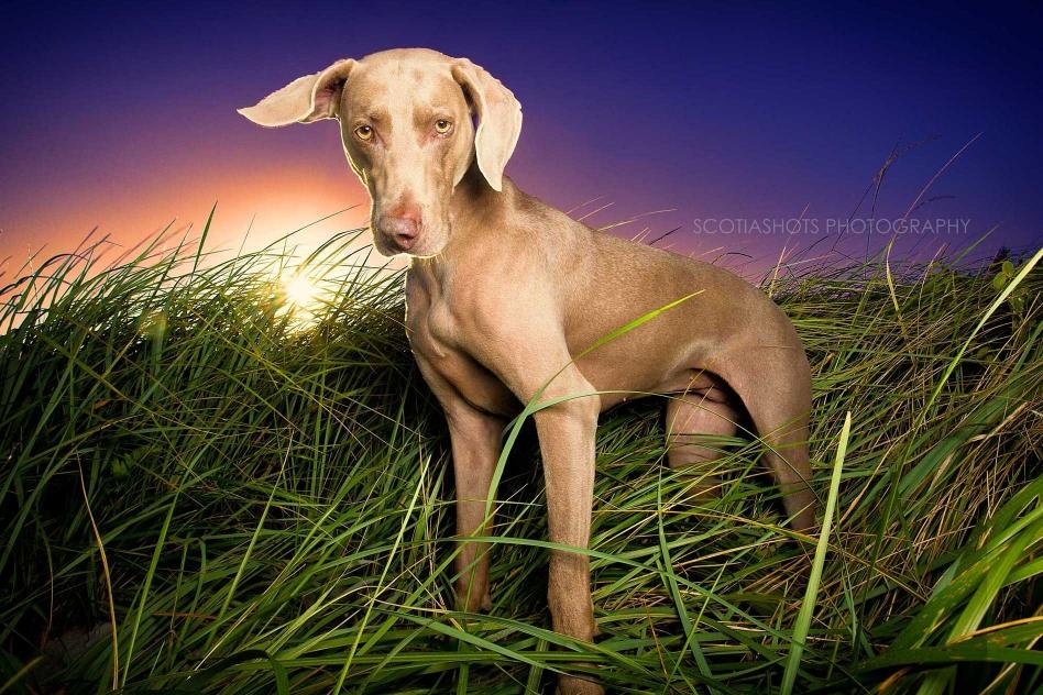 weimaraner standing in grassy dune