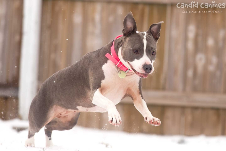 Amstaff terrier jumping in snow