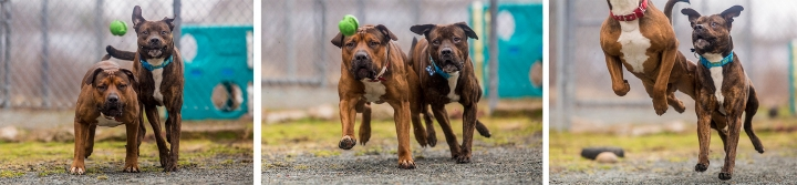 Halifax rescue dogs chase ball