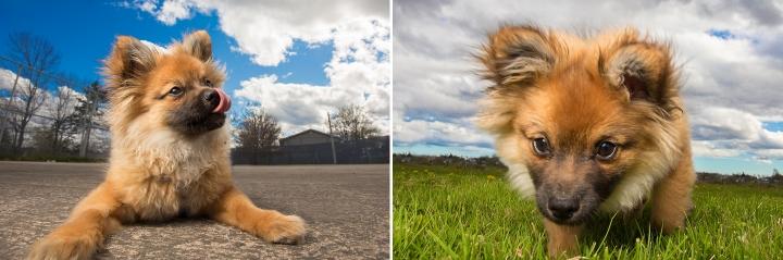 Halifax pomeranian puppy